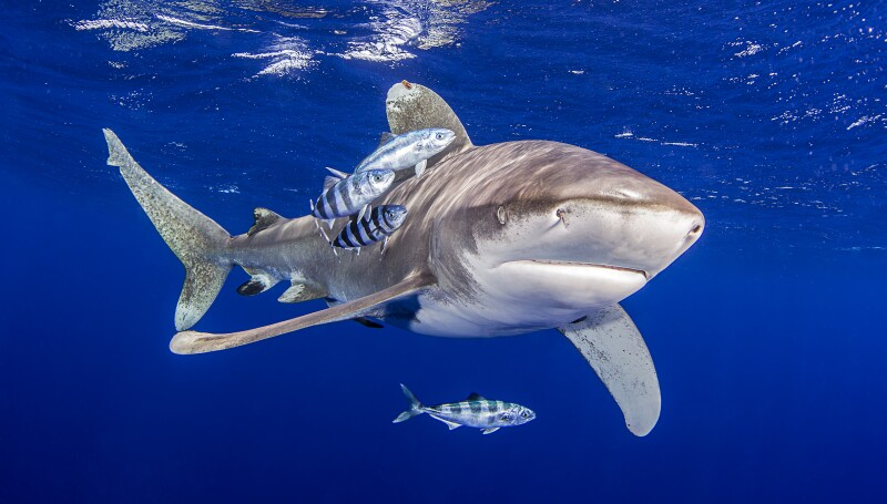 Oceanic Whitetip Shark with pilot fish around it