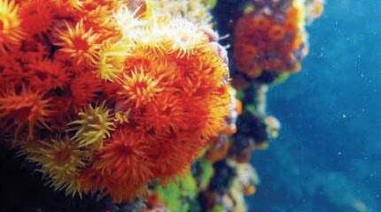 Tubastrea coccinea in orange and Tubastrea tagusensis in yellow