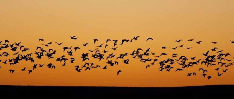 Migrating Flock of Birds