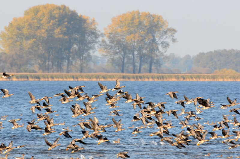 flock of Greylag Goose during autumn migration at Lake (Germany)